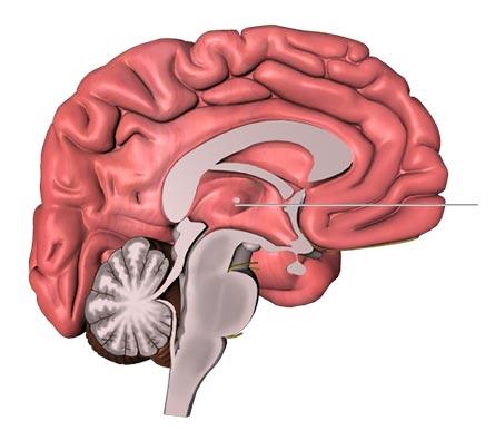 Talamo (cervello)